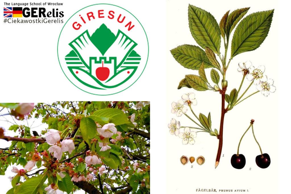 Ciekawostka Gerelis #13. Czym się różni czereśnia od wiśni? Skąd pochodzi? Jak brzmi w innych językach?