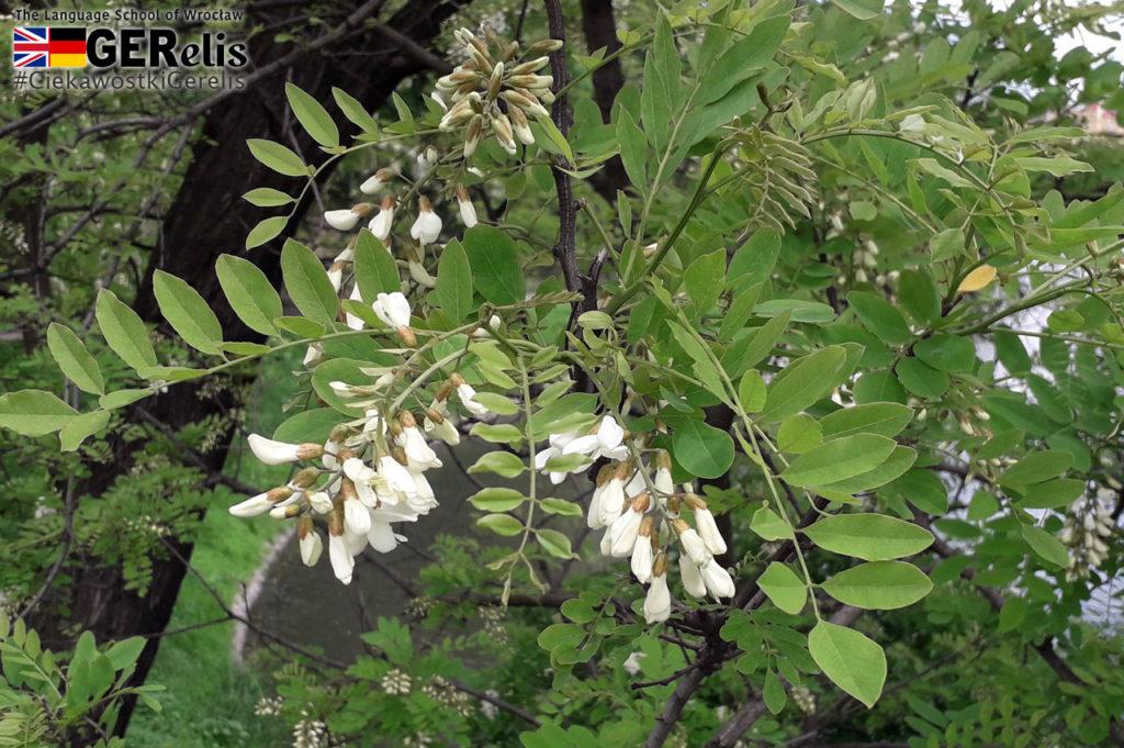 Ciekawostka GERelis #8. Czy kwiaty akacji można jeść? Czy akacje są jadalne? Skąd się wzięły w Europie i skąd pochodzi ich nazwa?
